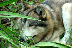 Shy Wolf Sanctuary Naples, Florida